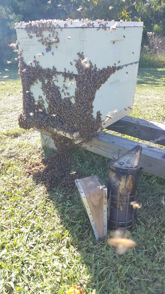 These bees in the club Apiary have filled the box (outside view).  You can see they are even on the ground.