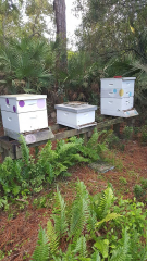 Brevard Zoo in Viera, FL.  Thanks to the joint efforts of Brevard Backyard Beekeepers Inc and the Brevard Zoo, honey is extracted from these boxes and supplied directly to the Turtle Hospital on the grounds of the zoo.  Honey has natural germ fighters and is antibacterial by nature.