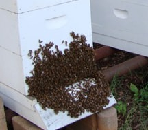 """At Brevard Backyard Beekeepers we practice what we preach, and that is saving our most important pollinator!  Well managed bees are happy to stay put in their hive boxes.  When it's time to reproduce, the hive will SWARM which means look for a new home and take the Queen bee with them.  Signs of Swarming to look out for are congestion, where bees are out of room inside the box and then must """"hang out"""" outside."""