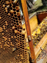 """When the colony begins to consider leaving the box, a new Queen must be """"made"""" so that she remains after the present Queen bee leaves with the swarm to their new location.  Queens are considerably larger than regular """"worker"""" bees, so their egg, larva and pupa stage must be house in a special cell called a Queen Cup."""