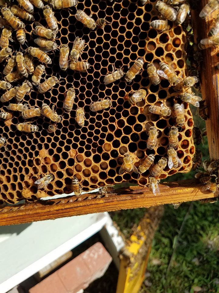 Male bees, called Drone bees, are an important part of the process of swarming.  Males are necessary to mate with the Queen, although this generally does not happen within her own hive.  Presence of drone cells is a sure sign that a colony is anticipating a move.
